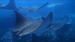 Molasses Eagle Ray